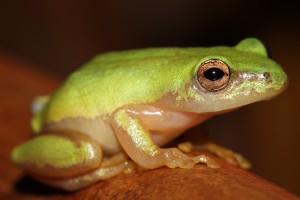 A critically endangered frog living near Durban South Africa