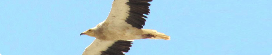Ivaylo Angelov -Egyptian vulture